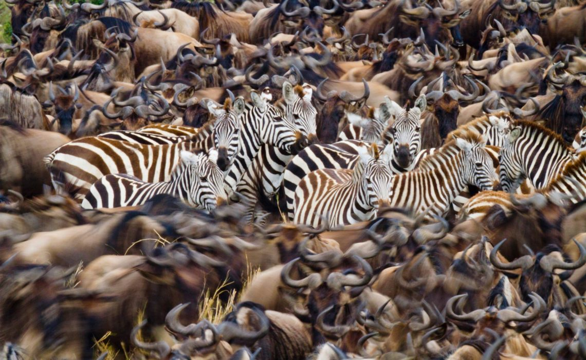 Kenya, Masai Mara National Reserve, Grant's zebras (Equus burchelli granti) in the middle wildebeest of during the great migration