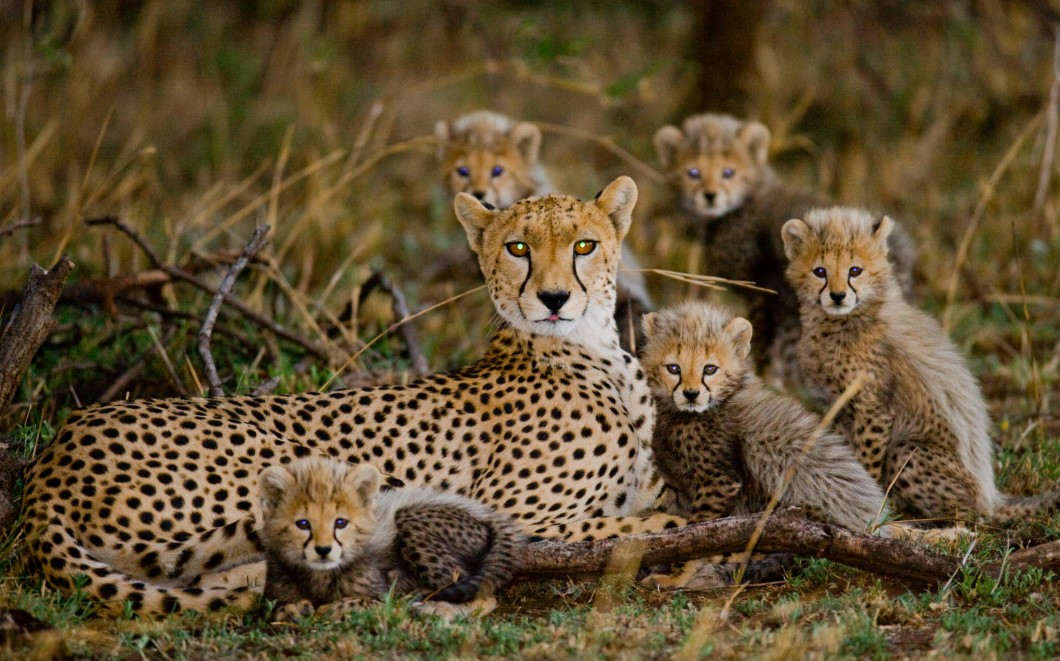Mother cheetah and her cubs in the savannah. Kenya. Tanzania. Af
