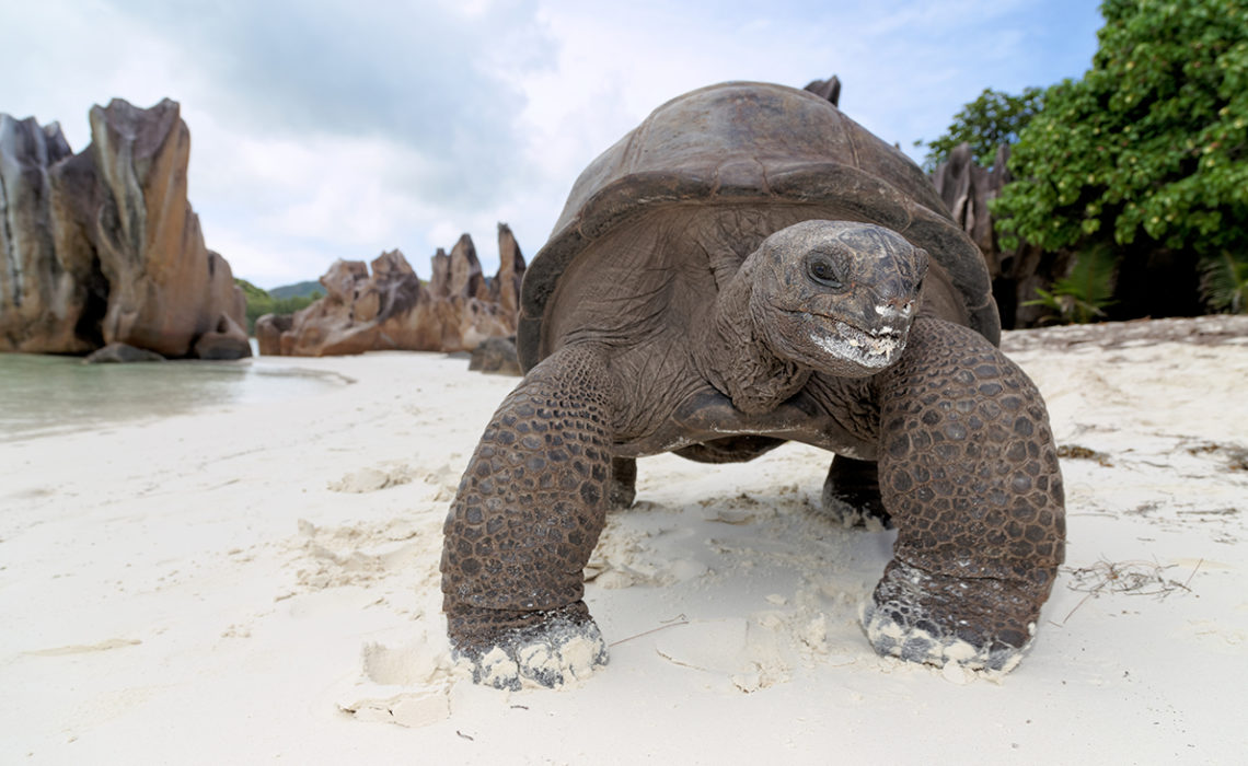 Seychellen, Insel Curieuse, Curieuse Island,Seychellen-Riesenschildkröten (Aldabrachelys, früher Dispochelys), Seychelles giant tortoise